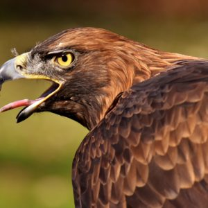 Adler Raptor